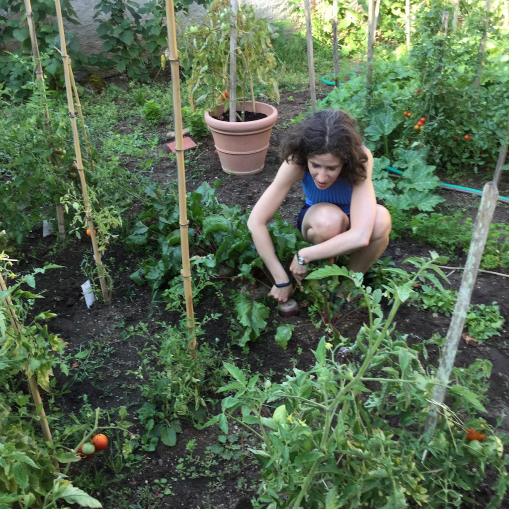 Une personne en train de récolter une betterave rouge dans un jardin
